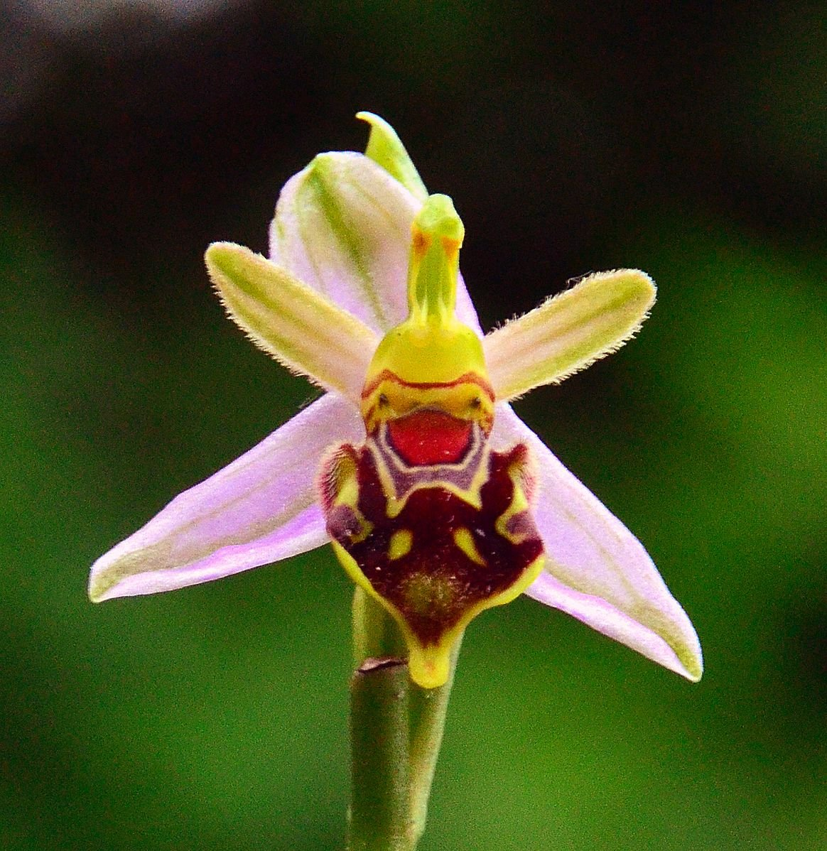 Bee Orchids Bear Witness