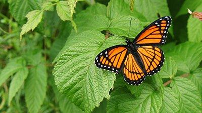 Bitter Butterfly