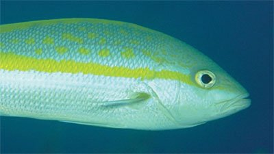 Yellowtailed Snapper