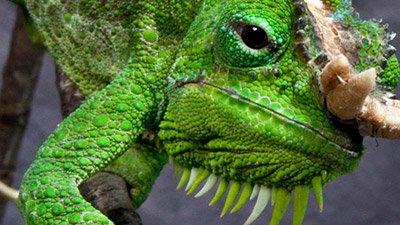 Chameleons—A Bug's Worst Nightmare