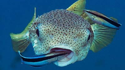 Cleaner Wrasses Demonstrate Providential Design