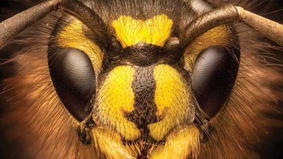 Did Little Wasps Evolve Big Eyes to Recognize Their Friends?