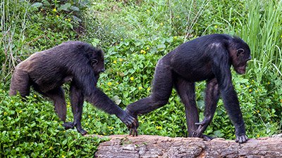 "Do Chimps in a ""Conga Line"" Hint at the Evolution of Dance?"