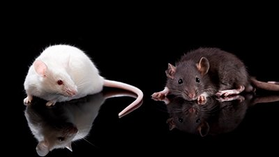 "Do Light and Dark Colored Mice Show ""Real Time"" Evolution?"