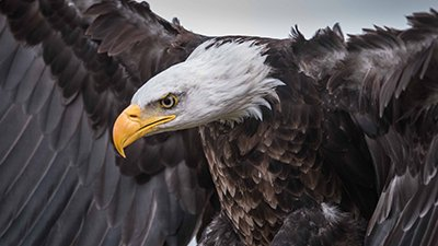 Does an Eagle Carry Its Young on Its Wings?
