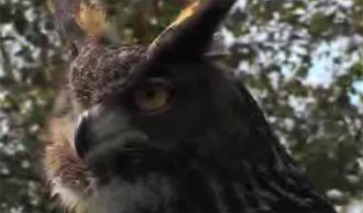 Eurasian Owl