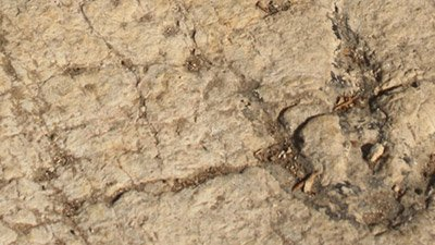 Fossilized Footprints—A Dinosaur Dilemma