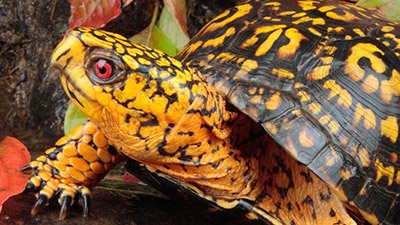 Eastern Box Turtles—Frozen Alive!