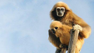 Gamboling Gibbons