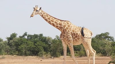 Genes Hold the Giraffe's Head Up High