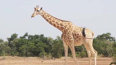 Giraffes: Towering Testimonies to God's Design