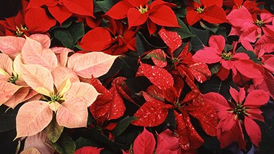 How the Poinsettia Came to Brighten Christmas