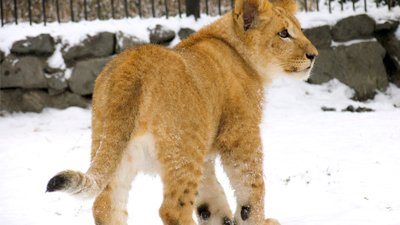 Incredibly Preserved Lion Cub Found in Siberia