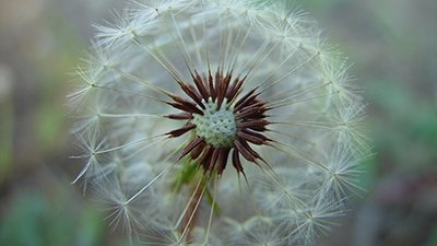 Frequent Flyer: Dandelion Seeds