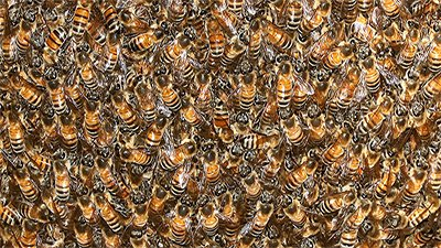 Bee Swarms: In Good Shape