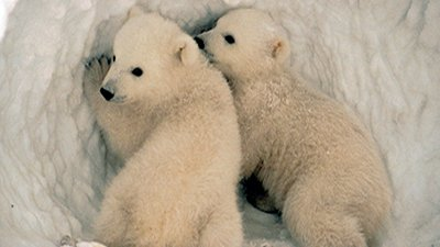 Polar Bear—Member of the Bear Kind