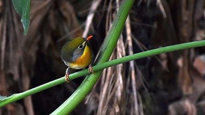 Hawaiian Birds: Aloha, Island Adaptations