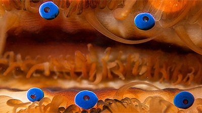 Seeing the Glory of God in Scallop Eyes