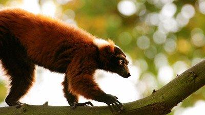 Leapin' Lemurs