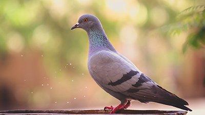 """Lousy"" Pigeon Professors"