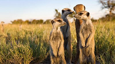 Meerkat Clans—The Original Social Network
