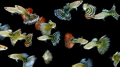 Natural Selection in Guppies