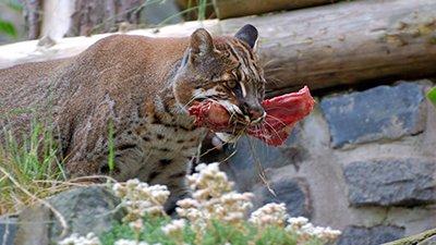 Feeding Carnivores on Noah's Ark