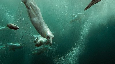 Northern Gannets—Death-Defying Dive Bombers