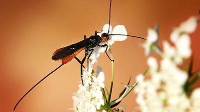 Parasitoid Wasps Shed Light on the Origin of Venom
