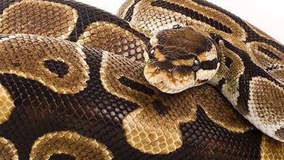 Pythons and Boas—Big, Bad, … and Blessed