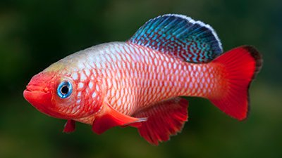 Rapidly Reproducing Killifish Defy Evolution