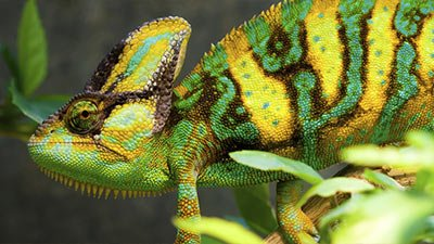 Chameleons' Color of Divine Wisdom