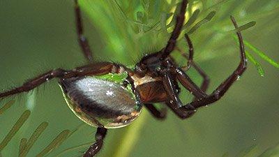 Scuba Spiders