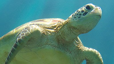 "Sea Turtles—One of Today's ""Living Fossils"""