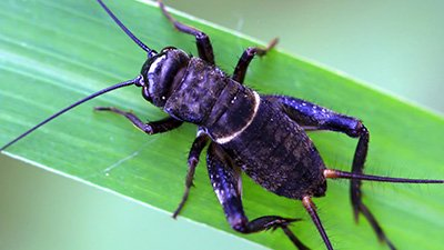 Silence of the Crickets Speaks Volumes About Variation and Selection
