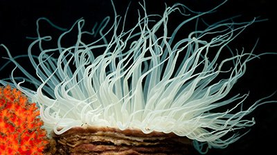 Simple Tube Anemones? Think Again.