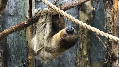 Sloths Arrive at Ararat Ridge Zoo at the Ark Encounter