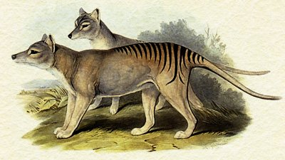 Tasmanian Tigers: Extinct or Elusive?