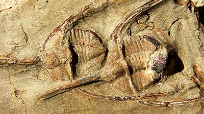 "Trilobites Fossilized ""While Playing 'Follow the Leader'"""