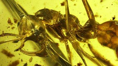 Vampire Hell Ants Preserved in Burmese Amber