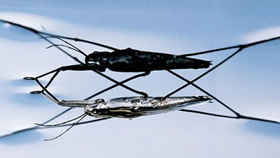 Water Striders—Walking on Water