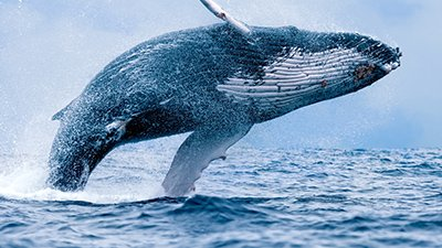 Whale Genetics and Evolution