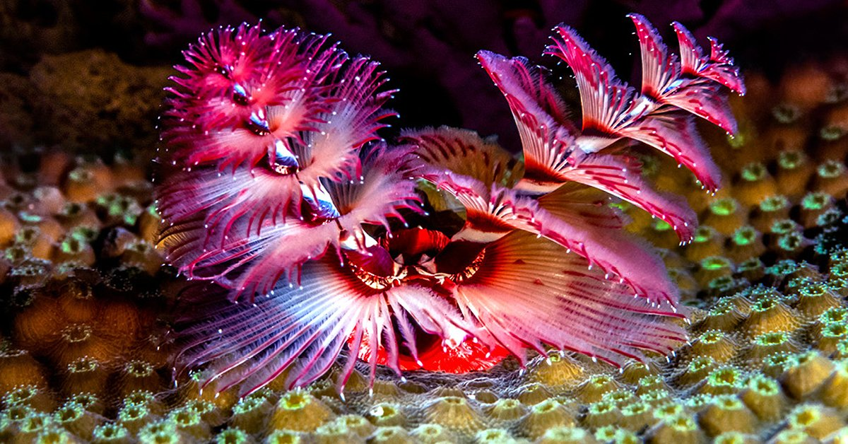 Underwater Christmas Christmas Tree Worm Answers In Genesis