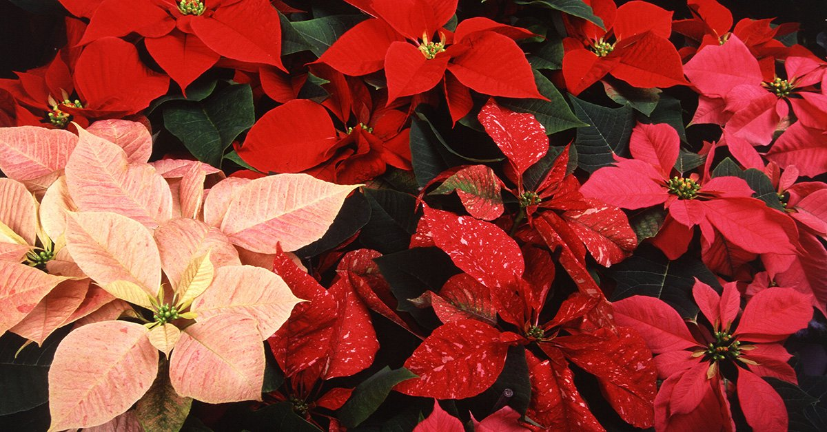 How The Poinsettia Came To Brighten Christmas Answers In Genesis