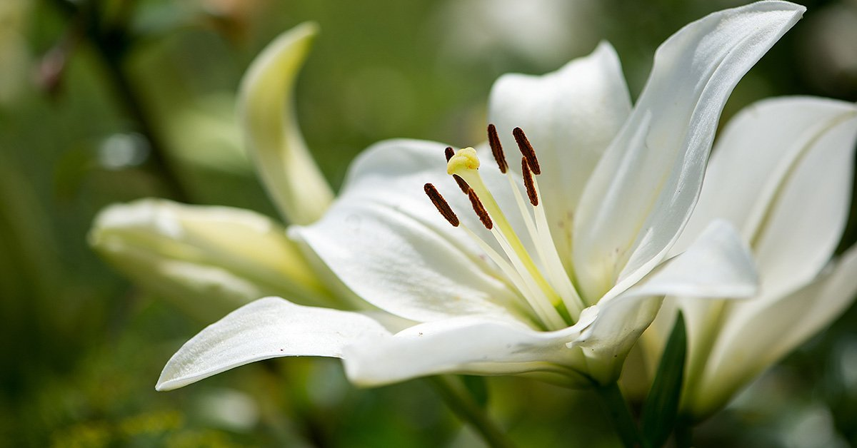Scented Lily Bulb Flower Collection From Mr Fothergills