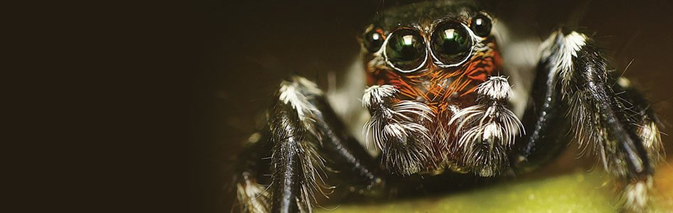 Did Spiders Evolve Knees Through Gene Duplication?