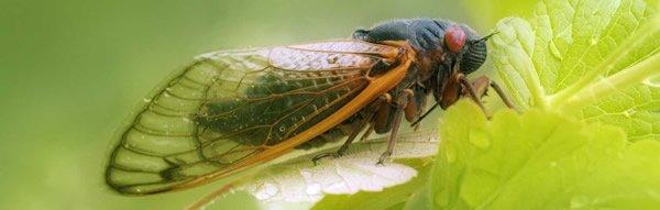 Periodical Cicadas—Synchronized Swarming