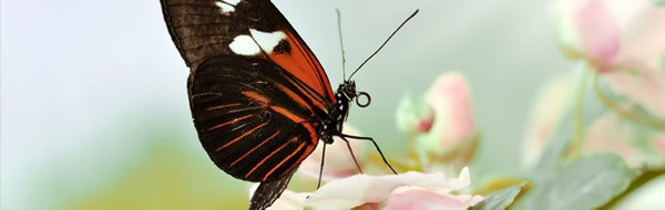 Butterflies on the Battlefield