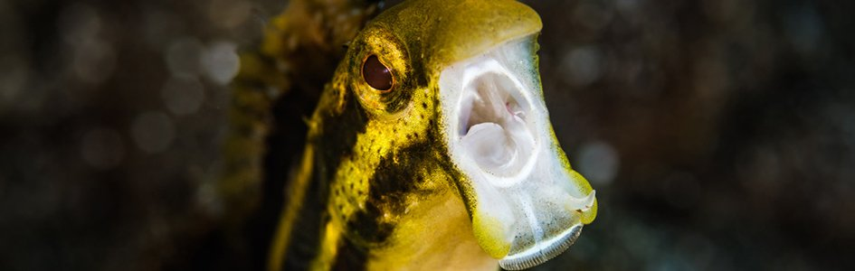 Origin of Fangblenny Fish's Unusual Venom
