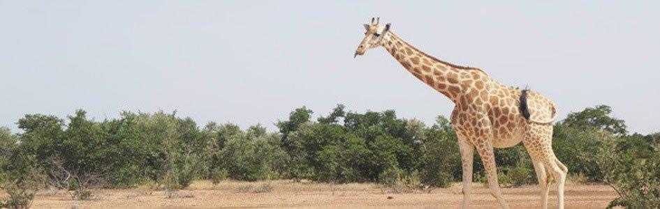 Giraffes: Towering Testimonies to God's Design